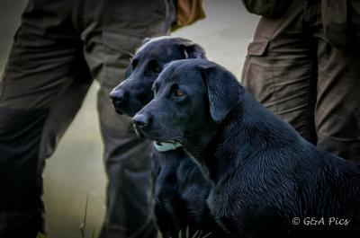 Gundog´s Choice Flinte (Purdey)