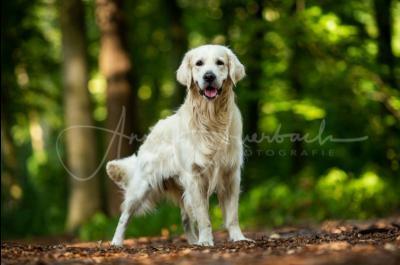 Baxter Forrest Golden von den Ruhrwiesen